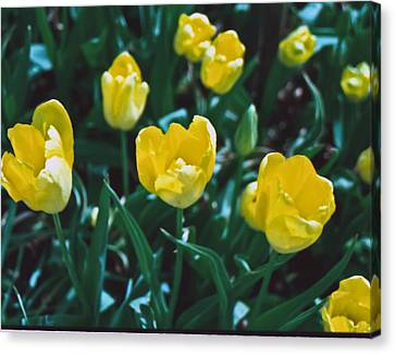 Canvas Print featuring the photograph Yellow Tulips--film Image by Matthew Bamberg