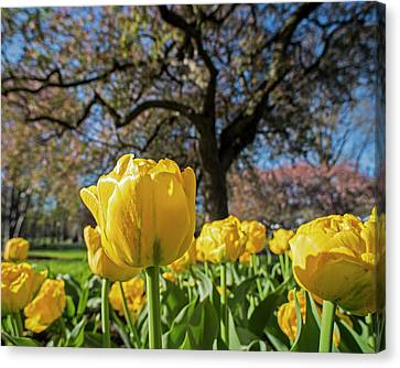 Yellow Tulips In The Public Garden Boston Ma Canvas Print by Toby McGuire