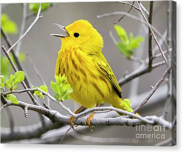 Yellow Warbler  Canvas Print by Ricky L Jones