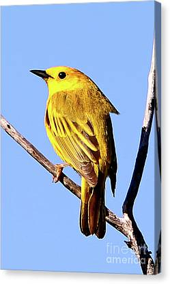 Yellow Warbler #2 Canvas Print by Marle Nopardi