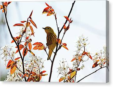 Yellow Warbler Canvas Print by Debbie Oppermann