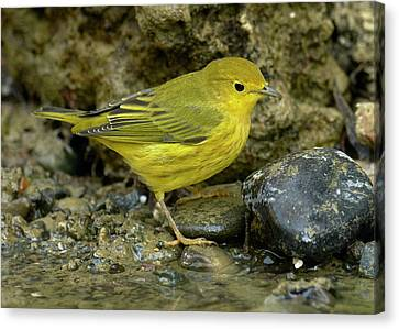 Yellow Warbler Canvas Print by Doug Herr