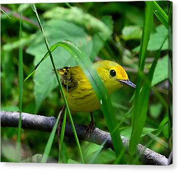 Yellow Warbler Canvas Print by Kathy Eickenberg