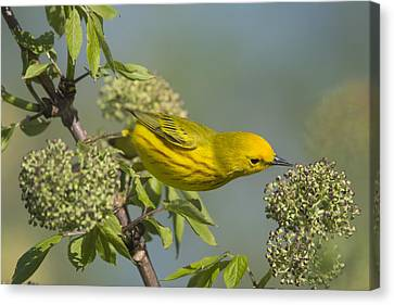 Yellow Warbler Looking For Dinner Canvas Print by Birds Only