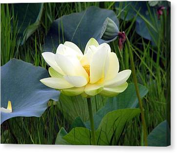 Canvas Print featuring the photograph Yellow Water Lily by Farol Tomson