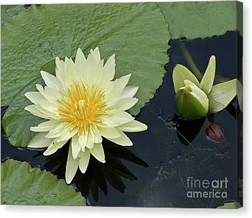 Yellow Water Lily With Bud Nymphaea Canvas Print by Heiko Koehrer-Wagner