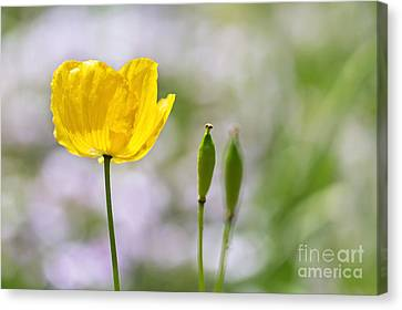 Yellow Welsh Poppy - Natalie Kinnear Photography Canvas Print