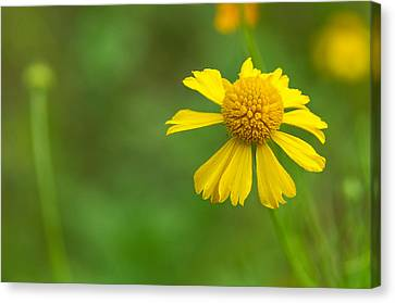 Yellow Wildflower Canvas Print by Christopher L Thomley