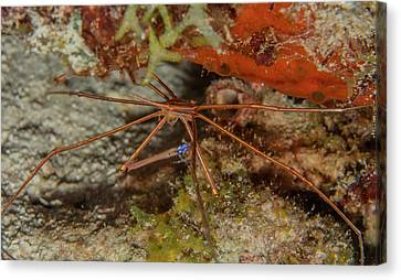 Yellowline Arrow Crab Canvas Print by Jean Noren