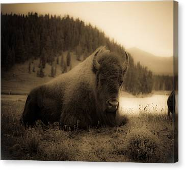 Yellowstone Bison 2 Canvas Print by Patrick  Flynn