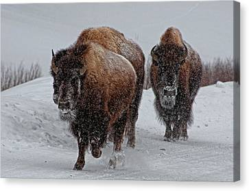 Yellowstone Bison Canvas Print by DBushue Photography