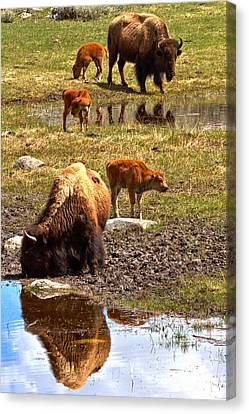 Yellowstone Bison Reflections Canvas Print