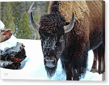 Yellowstone Buffalo Stare-down Canvas Print
