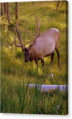 Yellowstone Bull Canvas Print by Marty Koch