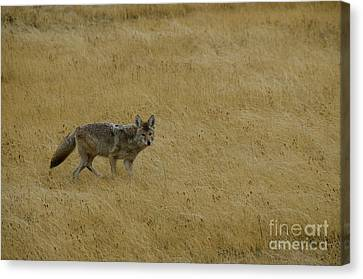 Canvas Print featuring the photograph Yellowstone Coyote by Sue Smith