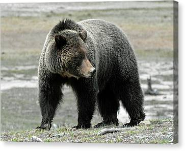 Canvas Print featuring the photograph Yellowstone Grizzly A Pondering by Bruce Gourley