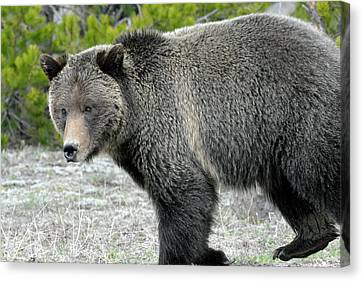 Canvas Print featuring the photograph Yellowstone Grizzly On The Hunt by Bruce Gourley
