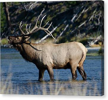 Yellowstone Park Elk Canvas Print by Greg Sigrist