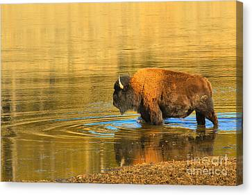 Canvas Print featuring the photograph Yellowstone Solo Swimmer by Adam Jewell
