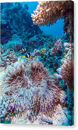 Yellowtail Clown Fish With Sea Anemone Canvas Print by Rostislav Ageev