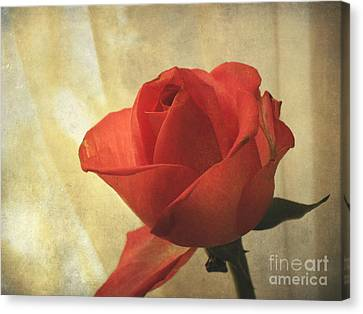 Canvas Print featuring the photograph Yesterday's Rose by Jacqi Elmslie