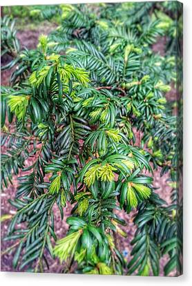 Yew Tree Canvas Print by Isabella F Abbie Shores FRSA