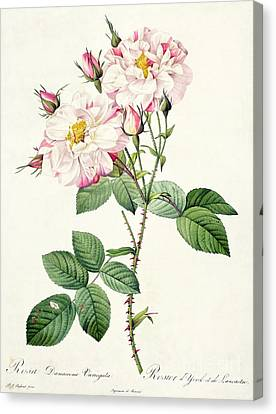 Leaves Canvas Print - York And Lancaster Rose by Pierre Joseph Redoute