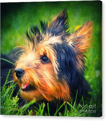 Yorki Canvas Print by Angela Doelling AD DESIGN Photo and PhotoArt