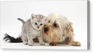 Yorkshire Terrier & Tabby Kitten Canvas Print