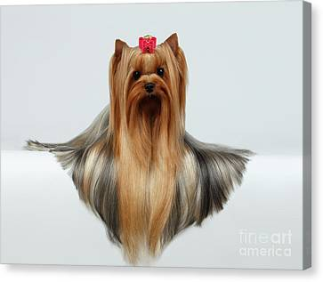 Yorkshire Terrier Dog With Long Groomed Hair Lying On White  Canvas Print