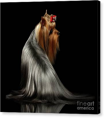 Yorkshire Terrier Dog With Long Groomed Hair Sits On Black Canvas Print by Sergey Taran