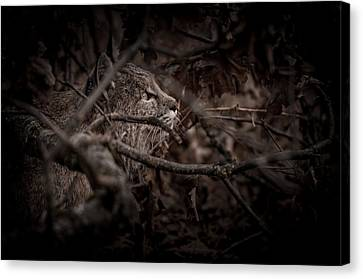 Yosemite Bobcat  Canvas Print by Ralph Vazquez