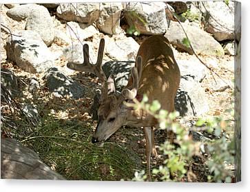 Yosemite Mule Deer Forage Canvas Print by LeeAnn McLaneGoetz McLaneGoetzStudioLLCcom