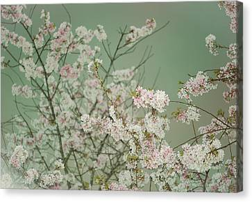 Yoshino Cherries Jade Canvas Print