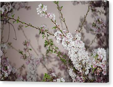 Yoshino Cherries Lavender Canvas Print