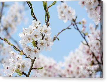 Yoshino Cherry Blossom Canvas Print by Tim Gainey