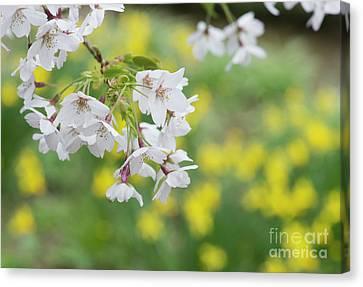 Yoshino Cherry Tree Blossom Canvas Print by Tim Gainey