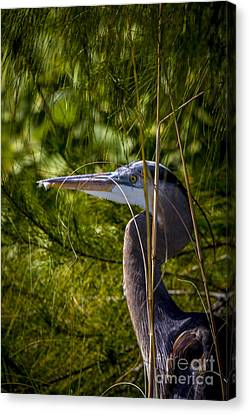 Great Blue Heron Canvas Print - You Can't See Me by Marvin Spates