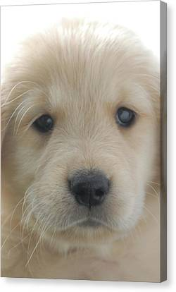 You Had Me At Woof - Golden Retriever Puppy Canvas Print by Stan Fellerman