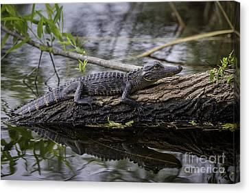 Young Alligator Canvas Print by Brian Jannsen