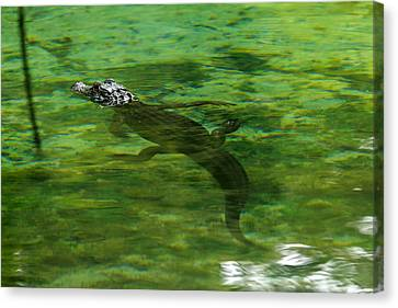 Young Alligator Canvas Print