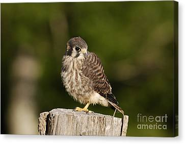 Young American Kestrel Canvas Print by Randy Bodkins