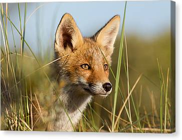 Young And Eager - Red Fox Kit Canvas Print