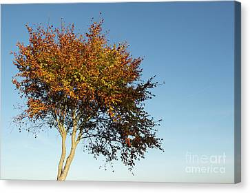 Young Autumn Beech Tree Canvas Print by Tim Gainey