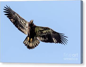Young Bald Eagle Flight Canvas Print