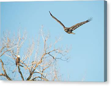 Young Bald Eagle Canvas Print by Paul Freidlund