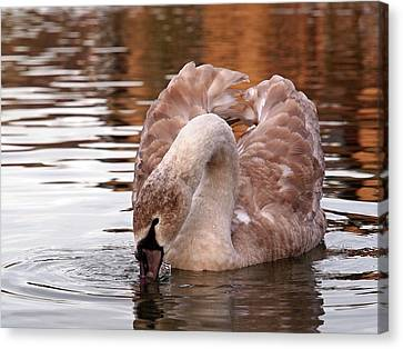 Young Beauty - Juvenile Mute Swan Canvas Print by Gill Billington
