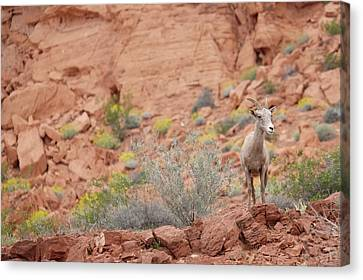 Canvas Print featuring the photograph Young Big Horn Sheep  by Patricia Davidson