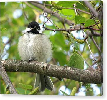 Canvas Print featuring the photograph Young Black-capped Chickadee by Angie Rea