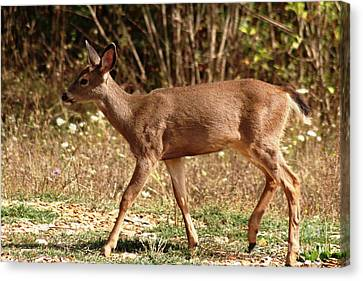 Canvas Print - Young Blacktail Buck 2 by Nick Gustafson